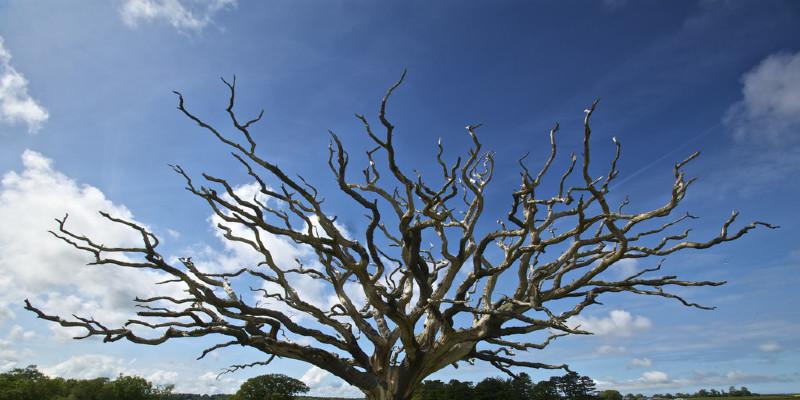 Great Design Plant: Honey Locust Tree